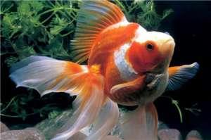金鱼烂鳍病应该怎么治疗?金鱼的蛀鳍烂鳍病因及防治